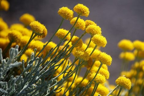 бессмертник цветок фото: