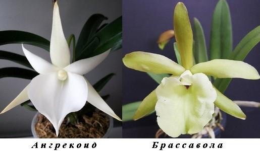 7_Angraecoids_Brassavolas.jpg