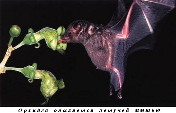 Orchid pollinated by bats.jpg