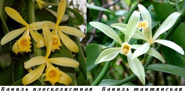 12_Vanilla planifolia_Vanilla tahitensis.jpg