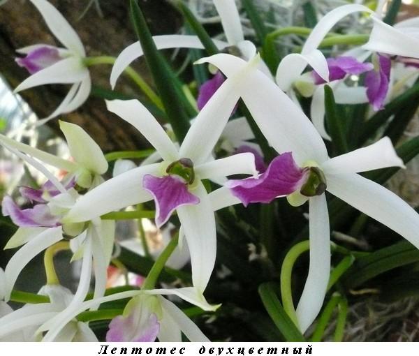 13_Leptotes bicolor.jpg