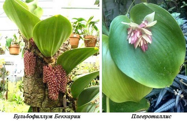2_Bulbophyllums Beccarii_Pleurothallids.jpg