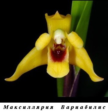 5_Mmaxillaria Variabilis.jpg