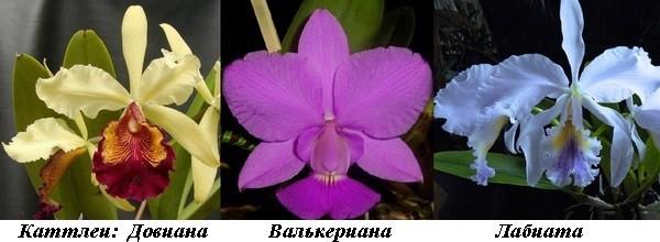 6_Cattleya_Dowiana_Walkeriana_Labiata.jpg