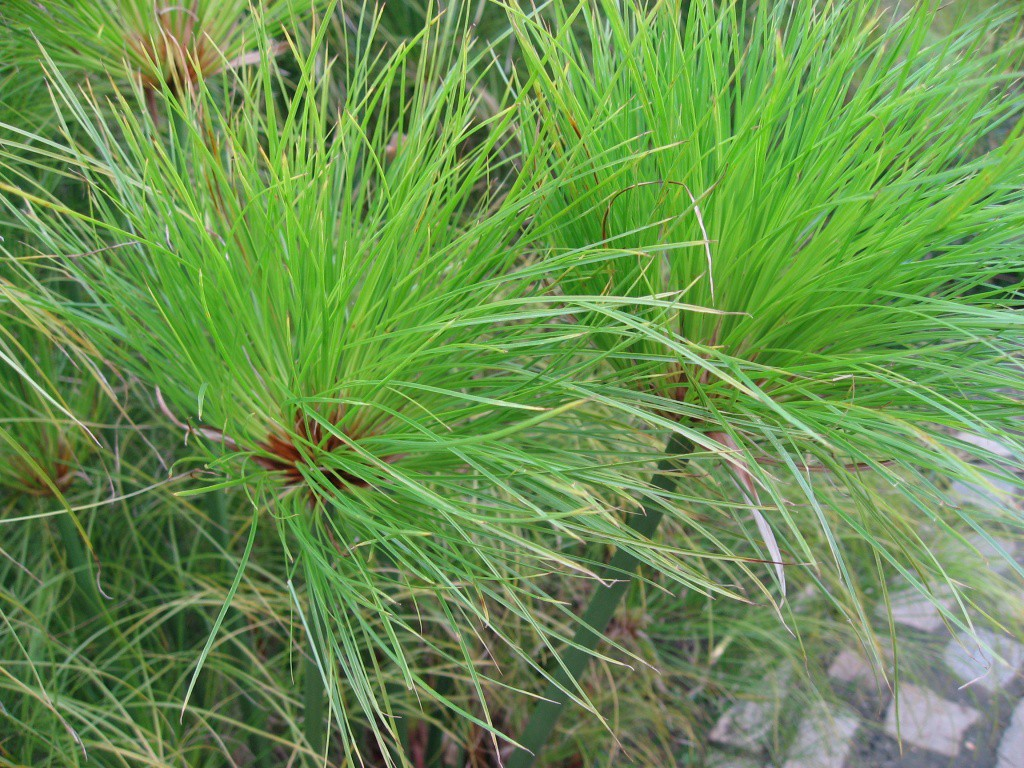 Cyperus_papyrus_detail_02_by_Line1.JPG