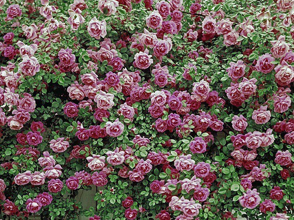 5_Rose Pompon_picture.jpg