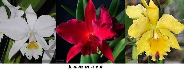 1_Cattleya_white_red_yellow.jpg