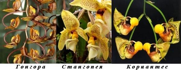 4_Gongora_Stanhopea_Coryanthes.jpg